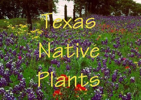 Texas native plants and their use for food and medicine mightylinksfo